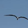 Frigate bird in flight in Florida