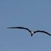 Frigate bird in flight in Florida
