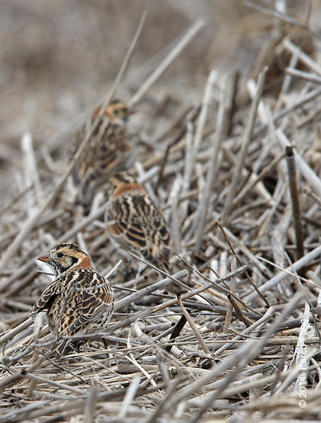 23 March: Lapland Longspurs at Jones Beach, transitioning into breeding plumage.  Five individuals seen together (four in this pic) at WE2.