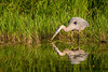 AGB-13-17: Blue Heron and reflection