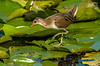 Juvenile Sora on Lily Pads
