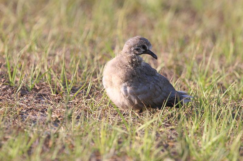 Baby Eurasian Dove