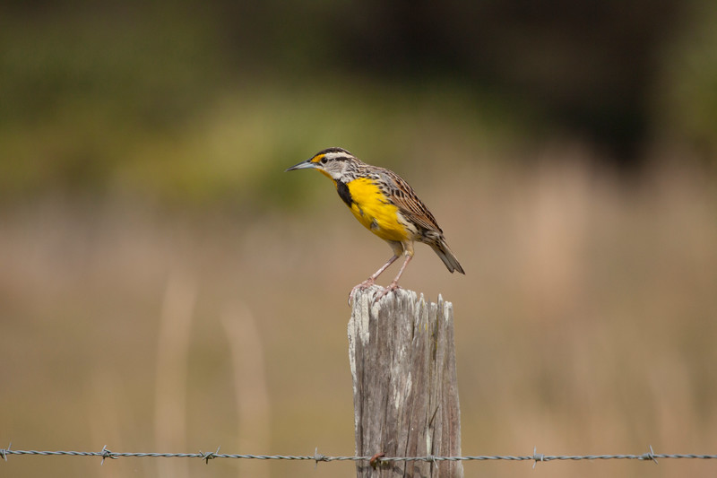 Meadowlark on a fence post