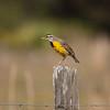 Meadowlark on a fence post