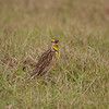 Meadowlark hunting bugs on the ground in a pasture
