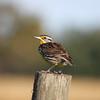 Meadowlark sits on fence post