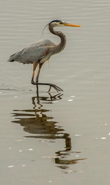 Fishing Great Blue Heron
