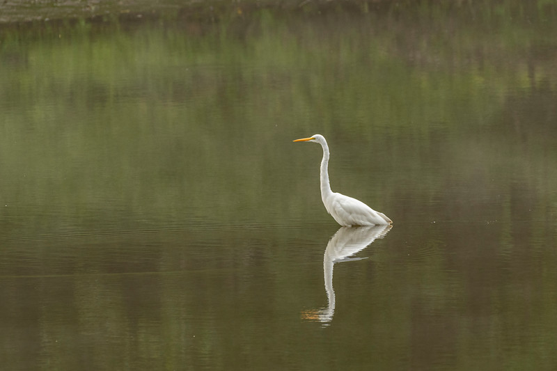 Great Egret on the Minnesota River