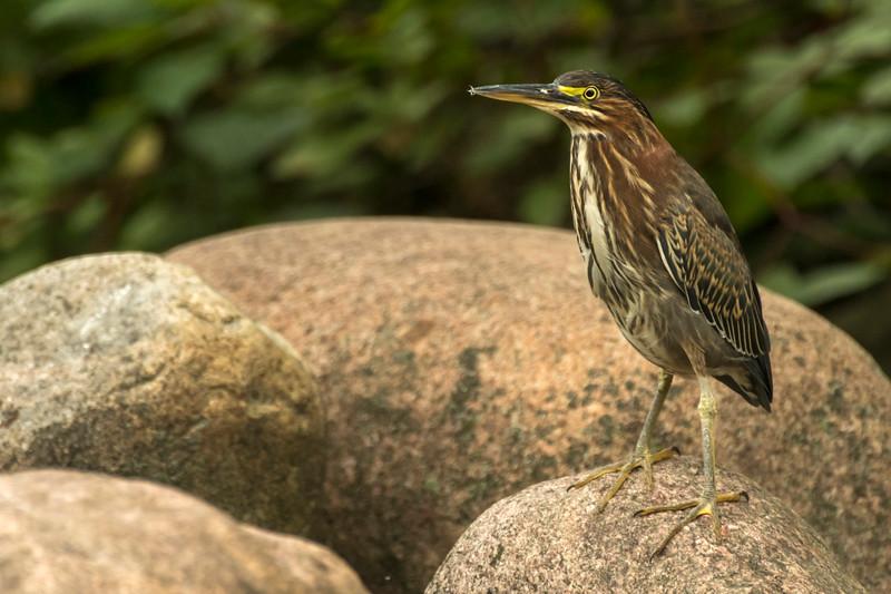 Green Heron on rock