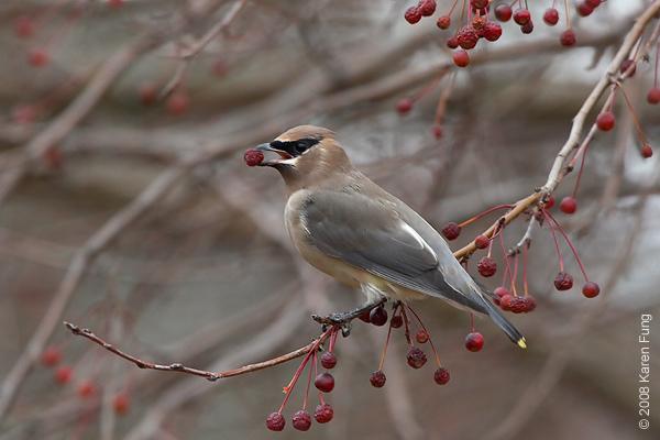 Nov 9th: Cedar Waxwing in Sapsucker Woods, Ithaca, NY