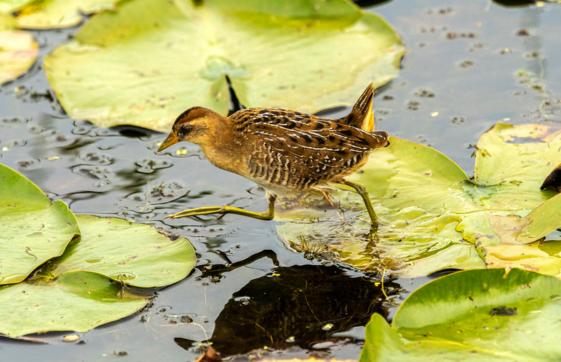Sora jumping across lily pads