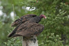 ATV-9012: Turkey Vulture ready for take off. (Coragyps atratus)