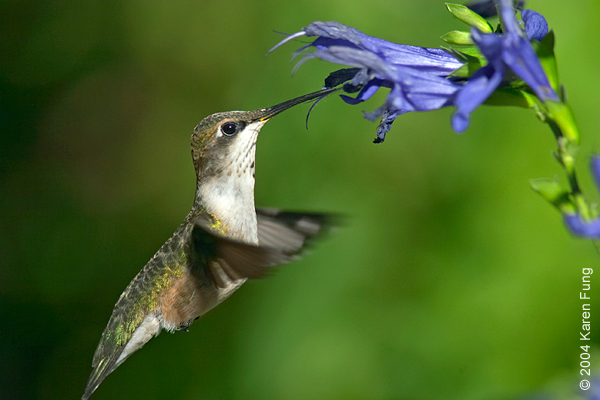Ruby-throated Hummingbird in the Shakespeare Garden of Central Park