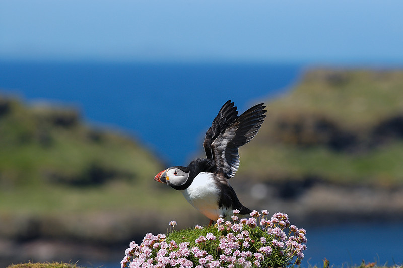 TSC-5077:Puffin wing stretch (Fratercula arctica)-Like many birds after snoozing for a time this little Atlantic Puffin decided to give the wings a little stretch before settling back down.