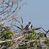 Magnificent Frigatebird SS71248