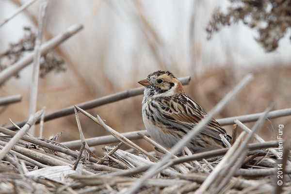 23 March: Lapland Longspur at Jones Beach