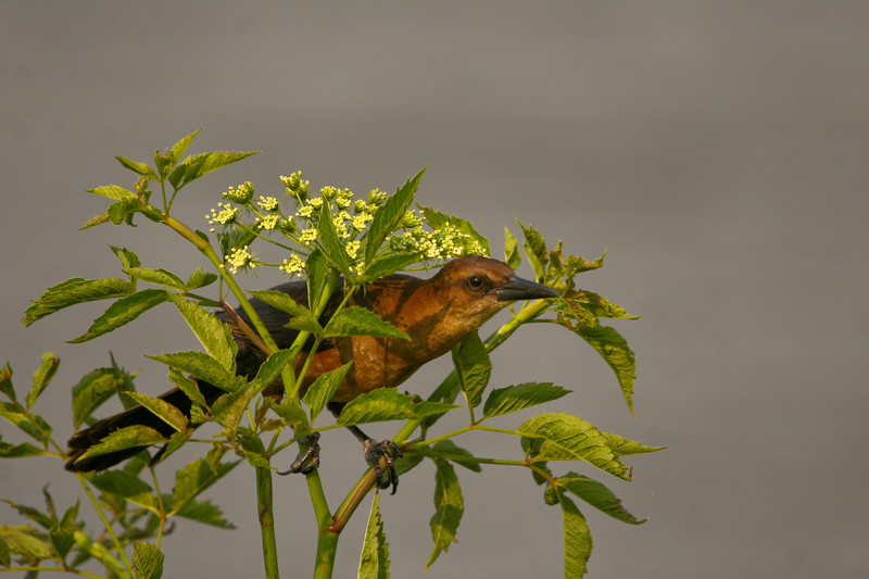 Female boat-tailed grackle in wildflowers