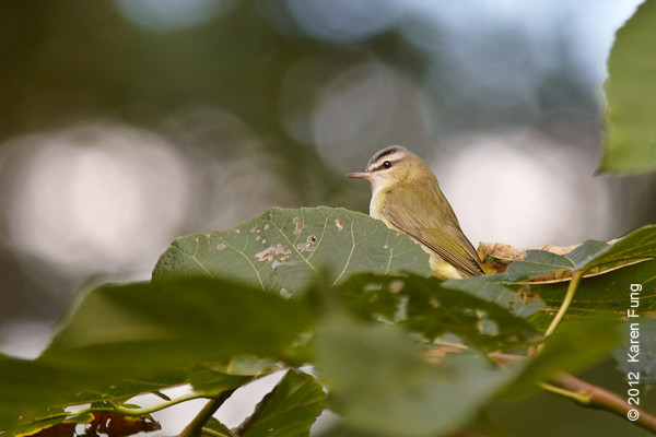 30 September: Red-eyed Vireo in Central Park