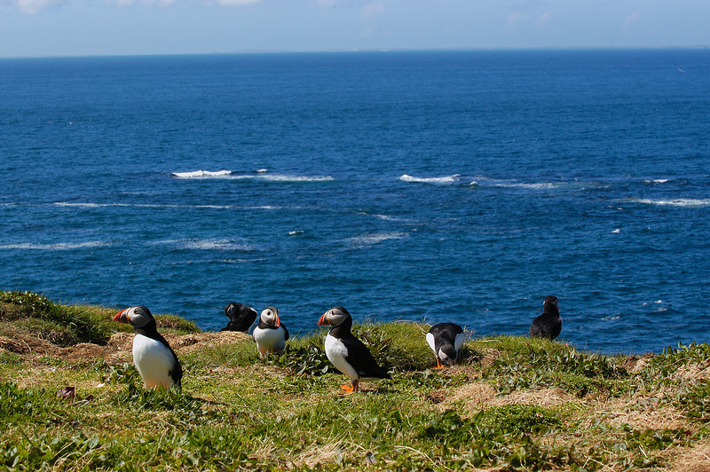 TSC-5074: Atlantic Puffins in habitat-(Fratercula arctica)-This image was taken around the middle of May and the puffins were busy making burrows for nesting.