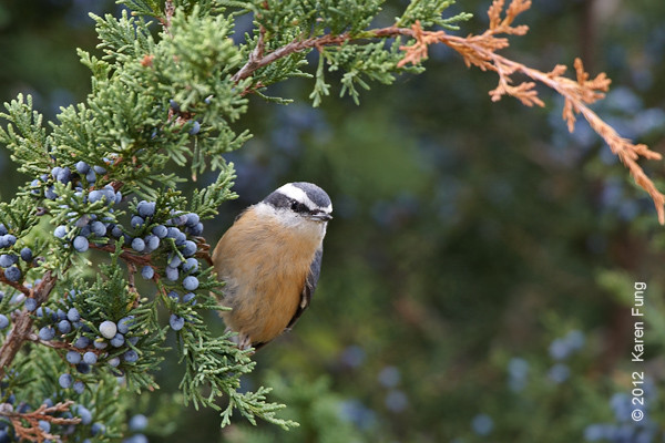 8 October: Red-breased Nuthatch at Jones Beach