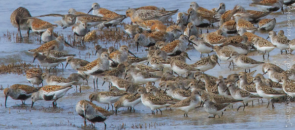 Sandpipers & Dunlins