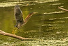 Green Heron taking flight