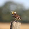 Meadowlark on a field post