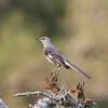 Mockingbird SS79893