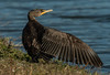 Double-crested Cormorant wing stretch