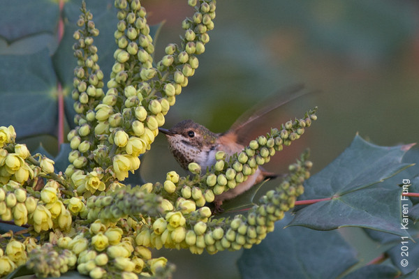 24 December: Rufous Hummingbird feeding on mahonia flowers in front of the American Museum of Natural History