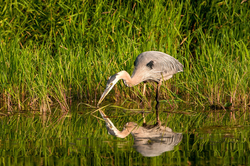 AGB-13-16: Great Blue Heron with catch