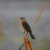 Female boat-tailed grackle perched on cattails