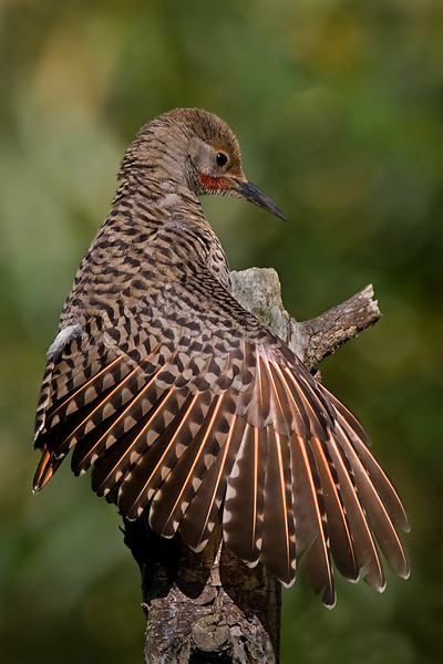 A beautiful and young Northern Flicker.  He was busy preening himself while soaking up the last rays of the day.
