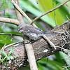 Yellow-rumped Warbler - Cypress Swamp Boardwalk
