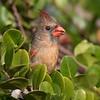 Female Cardinal Eating a Cocoplum