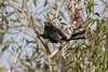 <b>Smooth-billed Ani pulling twigs from a willow tree to build a nest. The nest is located just a few feet below.</b> June 28, 2015 <i>- Jay Paredes</i>