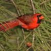 <b>Title - Cardinal</b> <i>- Ruth Pannunzio</i>