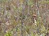 <b>Sandhill Crane Baby in Strazzulla Marsh</b> February 19, 2015 <i>- Sarah Martinez, USFWS</i>