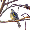 Description - Yellow-rumped Warbler <b>Title - It's Warbler Timer!</b> <i>- Leslie Goodman</i>