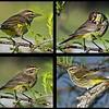 <b>Title - Palm Warbler</b> <i>- Ed Mattis</i>