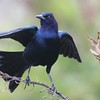<b>Title - Boat-tailed Grackle</b> <i>- Lyle Gabor</i>
