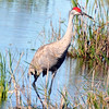 Description - Sandhill Crane <b>Title - Sandhill Crane</b> <i>- Howard Bernstein</i>