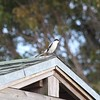 <b>Title - Loggerhead Shrike on House</b> <i>- Derek Petrisko</i>