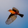 Vermilion Flycatcher On the Wing