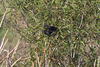 <b>Smooth-billed Ani's mating in C compartment</b> June 27, 2015 <i>- Jay Paredes</i>