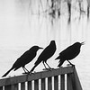 Description - Common Grackles <b>Title - On the Fence</b> <i>- Gwen Solomon</i>