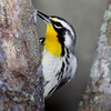 <b>Title - Yellow-throated Warbler Eating</b> Honorable Mention <i>- Ruth Pannunzio</i>