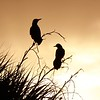 Description - Common Grackles <b>Title - Black Birds at Sunset</b> <i>- Jean Dowling</i>