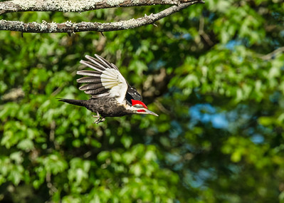Pileated Woodpecker near nest