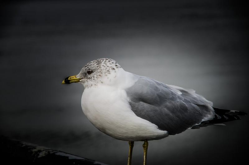 Charleston - Gull
